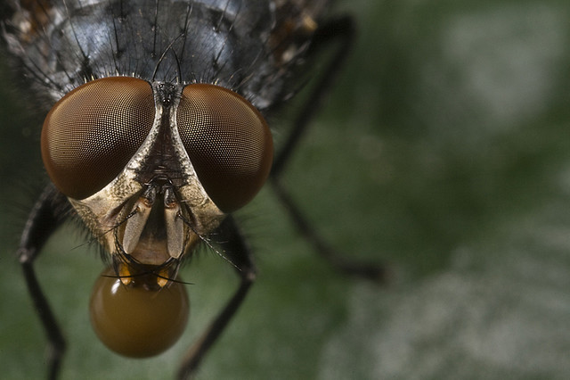 Файл:Housefly inflates bubble.jpg