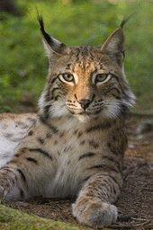 Lynx lynx.JPG
