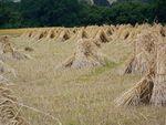 Пучки пшеницы.jpg