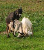 Секс с козой овцой фото фото 584-872