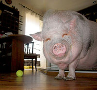 Картинки по запросу подложенная свинья фото